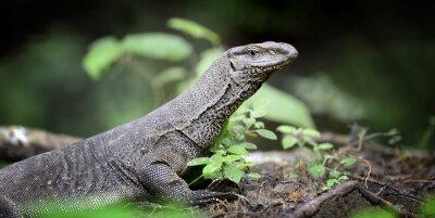 Image Moniteur Lizard