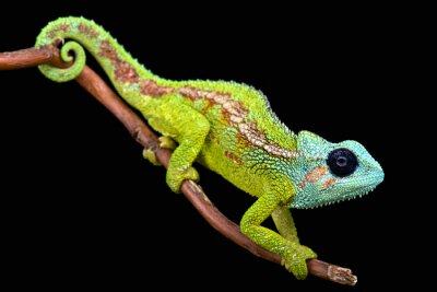 Image Mont Hanang Chameleon (trioceros hanangensis)
