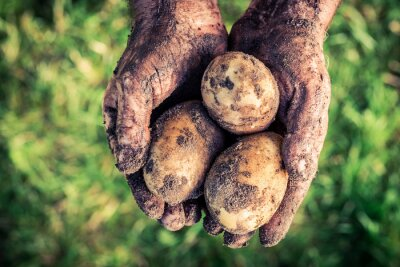 Image Mûre, pommes terre, mains
