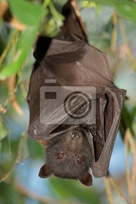 Noir roussette, Kakadu N / P, Australia