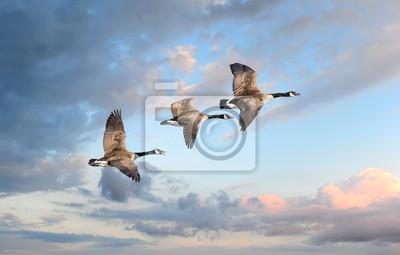 Image Oies volant au coucher du soleil