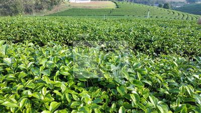Oolong champ de thé. Champ de thé de Chui Fong, Chiang Rai, Thaïlande.