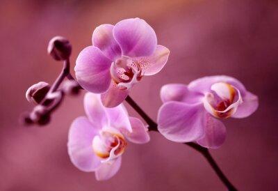 Image Orchidea - Storczyki fiolet