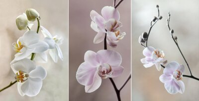 Image Orchidea (storczyki) - pastelowe