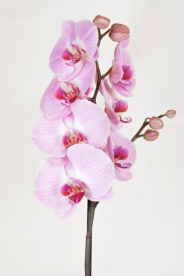 Image Orchidée striée de rose