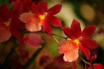 Image Orchidées à fleurs rouge et jaune