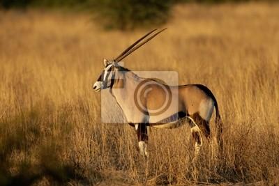 Oryx antilope (Oryx gazella)