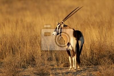 Oryx antilope (Oryx gazella), le désert du Kalahari, en Afrique du Sud