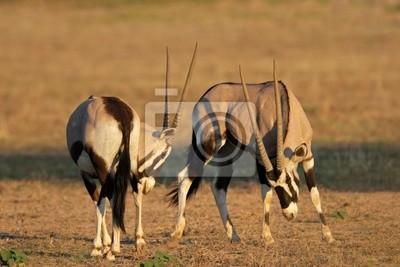 Oryx combat (Oryx gazella), du Kalahari, en Afrique du Sud