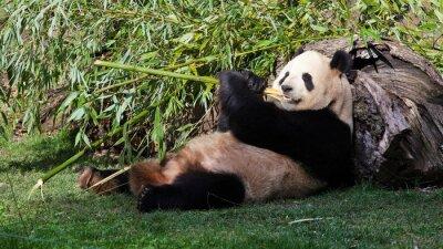 Image Oso panda Tumbado comiendo bambú