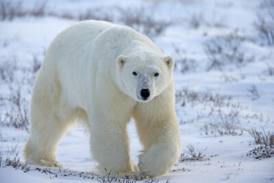 Image ours blanc