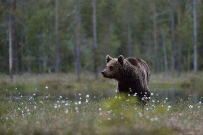 Image Ours brun (arctos d'Ursus) dans l'amarre avec le fond de forêt. Brun, ours, tourbière, forêt, fond Taïga. Finlande.