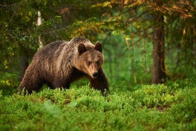 Image Ours brun dans la forêt
