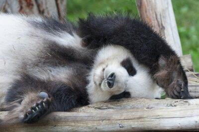 Image Ours panda géant endormi