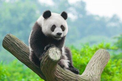 Image Ours panda géant grimpant dans l'arbre