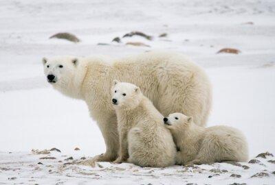 Image Ours polaire avec des petits dans la toundra. Canada. Une excellente illustration.