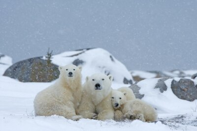 Image Ours polaire avec oursons