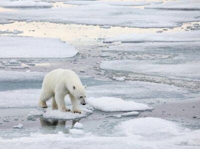 Image Ours polaire en milieu naturel
