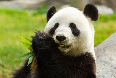 Image Panda bear eating bamboo