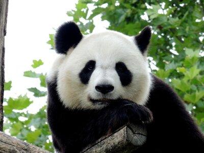 Image Panda Géant 7