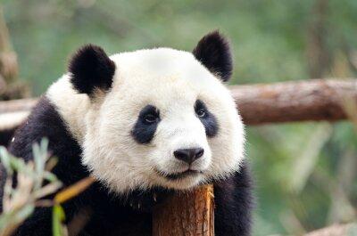 Image Panda géant - Sad, Fatigué, Pose air ennuyé. Chengdu, Chine