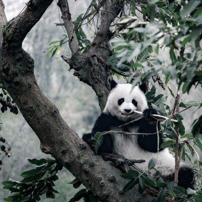 Image Panda sur arbre