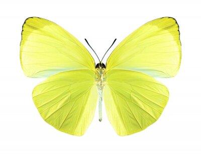 Image Papillon Gandaca harina (mâle) (dessous)