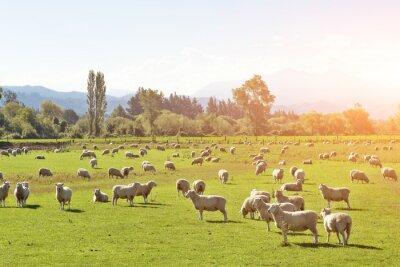 Image Pâturage, animaux, Été, ensoleillé, jour, nouveau, Zélande