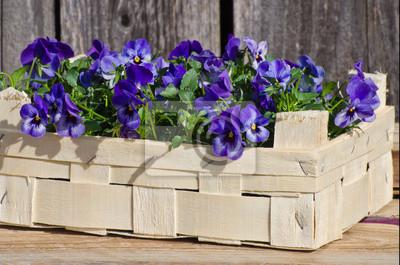 Pensée dans une boîte pour le jardinage au printemps