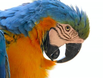 Image perroquet tête d'animal aviaire