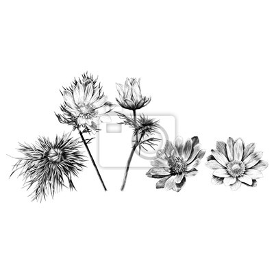 Petales De Sprout De La Branche De Fleur Adonis Un Dessin Noir