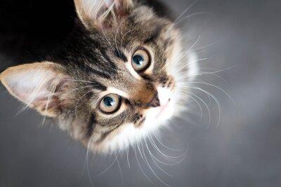 Image petit chaton pelucheux sur un fond gris