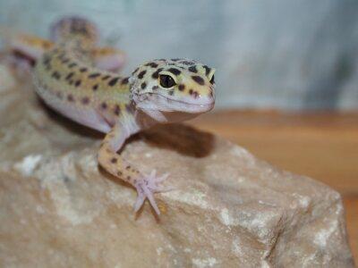 Image Petit léopard gecko sur une pierre. fermer
