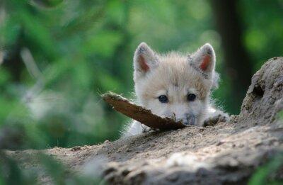 Image petit loup