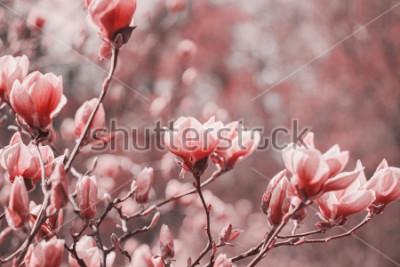 Image Photographie de tendance sur le thème de la nouvelle couleur de l'année 2019 - Living Coral. Fleurs de magnolia de printemps sur le fond naturel.