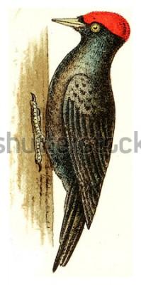 Image Pic noir, illustration gravée vintage. De l'atlas des oiseaux de l'Europe de l'Europe.