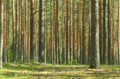 Image Pine Forest Summer
