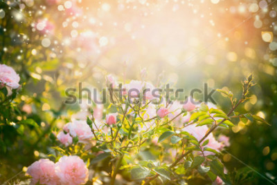 Image Pink pale roses bush over summer garden or park nature background. Roses garden, outdoor with sunshine and bokeh