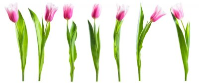 Image Pink tulip flowers isolated on white