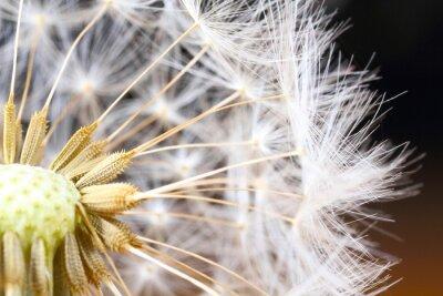 Image Pissenlit, close-up