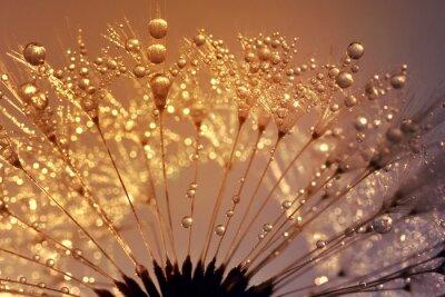 Image Pissenlit Dewy au lever du soleil jusqu'à fermer