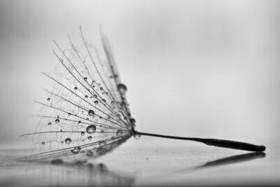 Image Pissenlit humide sur blanc, surface brillante avec de petites gouttelettes