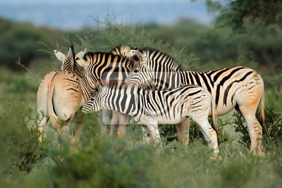 Plaines (Burchells) zèbres (Equus burchelli) dans l'habitat naturel, Afrique du Sud.