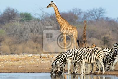 Plaines zèbres et girafes, Parc National d'Etosha