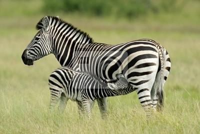 Plains (Burchell) Zebra (Equus quagga), Etosha N / P, de la Namibie