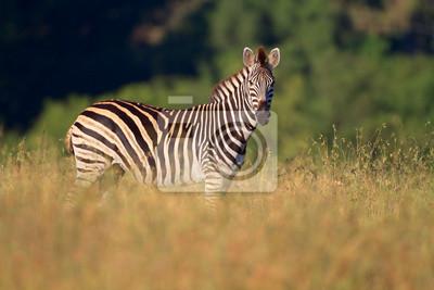 Plains (Burchell) Zèbres (Equus)
