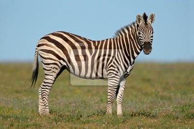 Plains (Burchell) Zèbres (Equus quagga)