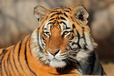Image Portrait, bengale, tigre, (Panthera, tigris, bengalensis)