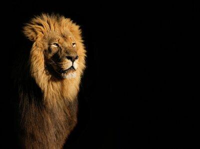 Image Portrait d'un grand lion africain mâle (Panthera leo) contre un fond noir, Afrique du Sud.