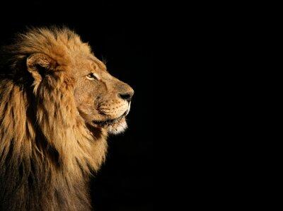 Image Portrait d'un grand lion d'Afrique mâle noir